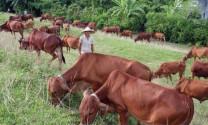 Nền tảng nào để phát triển bò thịt?