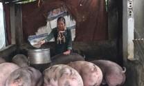 Tiếp tục thận trọng đầu tư chăn nuôi lợn