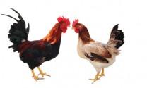 Đánh giá khả năng sản xuất thịt của gà Lạc Thủy