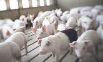 Thái Nguyên: Chăn nuôi áp dụng tiêu chuẩn ASEAN GAHP cho hiệu quả