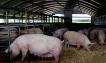 Thị trường thịt heo thế giới bất ổn