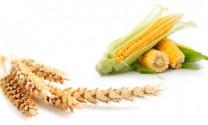 Hạ giá sàn lúa mỳ, mở kho dự trữ ngô