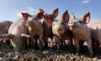 Trung Quốc: Ngành heo trì trệ do giá thịt giảm mạnh