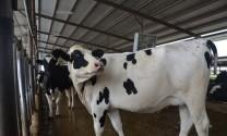 Hỏi đáp: Stress nhiệt trên bò?