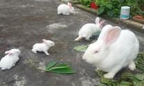 Hỏi đáp: Thỏ kém ăn, nguyên nhân và phòng trị.