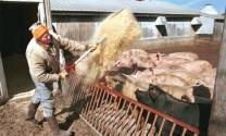 Ngành thịt heo Mỹ sẽ gánh thiệt hại?