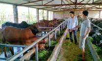 Điện Biên: Nâng cao chất lượng đàn bò bằng thụ tinh nhân tạo