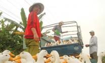 Hưng Yên: Vịt thịt tăng giá mạnh