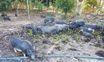 Tình hình nuôi heo Cỏ ở miền Trung