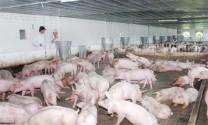 Hà Nội: Gỡ vướng trong phát triển chuỗi liên kết động vật