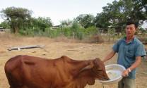 Hỏi đáp: Nguyên nhân và phòng trị bệnh trên bò?
