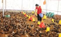 Kiên Giang: Hỗ trợ nâng cao hiệu quả chăn nuôi nông hộ