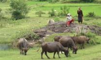 Sơn La: Phát triển nguồn thức ăn xanh, sạch cho trâu, bò