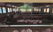Hà Nội: Người chăn nuôi dần có lãi
