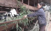 Gia Lai: Nông dân La Le thu nhập cao nhờ chăn nuôi dê