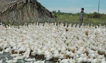 Chăn nuôi vịt: Cởi nút thắt, mở tiềm năng