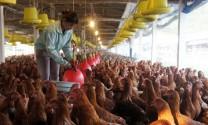 Bình Thuận: Hỗ trợ người chăn nuôi gia cầm bị ảnh hưởng của El Nino