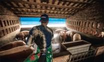 Trung Quốc cải tổ chăn nuôi heo
