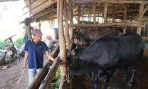Hướng làm giàu từ các giống bò thịt chất lượng cao