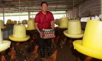 Chăn nuôi gà sinh sản cho thu nhập khá