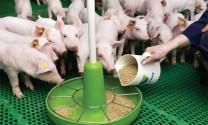 Giảm chi phí thức ăn hiệu quả trong nuôi heo thịt