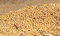 Giá đậu tương thế giới tăng