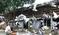 Bệnh giả lao trên chim bồ câu