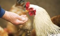 Thành phần cần lưu ý trong nuôi gà thịt