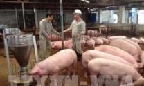 Hiệu quả từ mô hình chăn nuôi lợn bằng chế phẩm sinh học