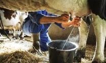 Axit cholic ảnh hưởng đến năng suất và chất lượng sữa bò