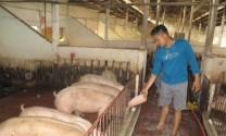 Hiệu quả từ mô hình chăn nuôi lợn bằng chế phẩm sinh học của ông Nguyễn Hữu Nhân