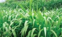 Hà Giang: Phát triển trồng cỏ phục vụ chăn nuôi gia súc hàng hóa