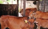 Hiệu quả từ mô hình nuôi bò nhốt chuồng thâm canh