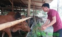 Lập nghiệp với mô hình chăn nuôi bò