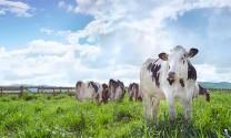 Xét nghiệm chẩn đoán nhanh cho bệnh viêm vú ở bò sữa