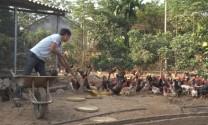 Ba Vì phát triển chăn nuôi gắn với kiểm soát dịch bệnh