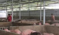 Long An: Giá heo tăng, người nuôi vẫn thận trọng tái đàn