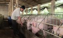 Thái Nguyên: Tổng đàn heo dự kiến tăng cao