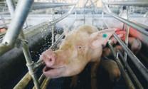 Mỹ: Tương lai ngành chăn nuôi sau cuộc chiến thương mại