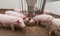 Giá heo hơi lên kỷ lục, rủi ro nào cho ngành chăn nuôi heo?