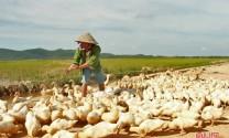 Nuôi gia cầm giúp nông dân Hà Tĩnh thu nhập khá