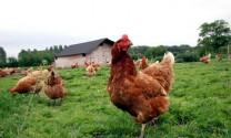 Trung Quốc: Hợp tác xây dựng trại giống gia cầm lớn nhất thế giới