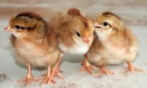Bình Định: Giá gà giống tăng mạnh