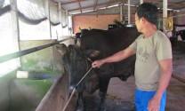 Tiền Giang: Người chăn nuôi chuộng bò ngoại