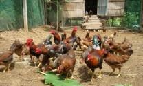 Bạc Liêu; Tập huấn ToT kỹ thuật nuôi gà an toàn sinh học