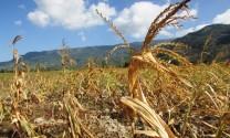 Ngành chăn nuôi châu Âu khốn khổ vì nắng hạn