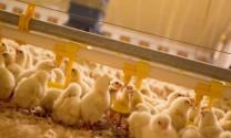 Sử dụng thức ăn đậm đặc thích hợp cho gà