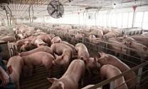 Cục Chăn nuôi cảnh báo giá lợn hơi vượt ngưỡng tăng ảo