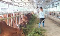 Lạng Sơn đẩy mạnh cải tạo đàn bò