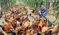 Hòa Bình: Nuôi gà Lạc Thủy thu nhập 1 tỷ đồng/năm